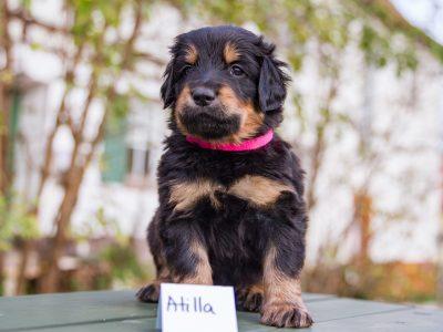 Attila2
